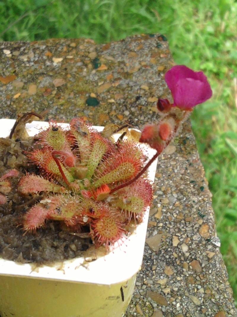 Fleur de drosera gympiensis Sp_a0010