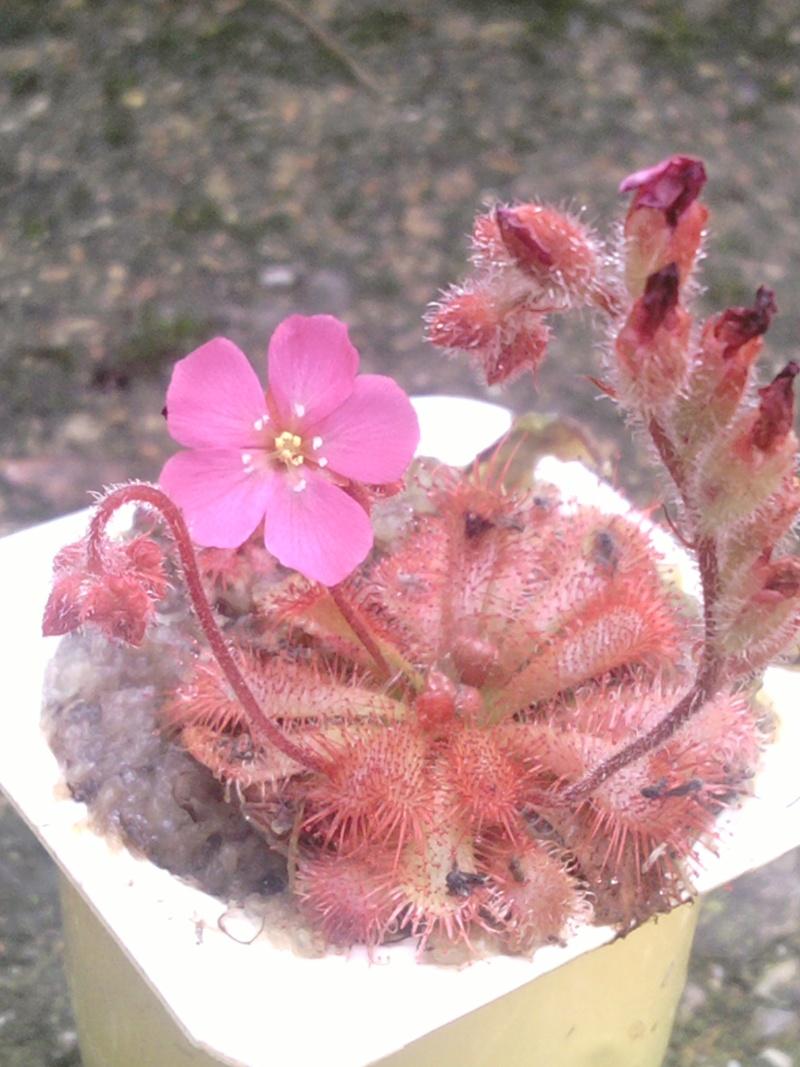 Fleur de drosera gympiensis Sp_a0310