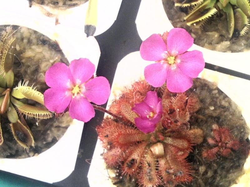 Fleur de drosera gympiensis Sp_a0410