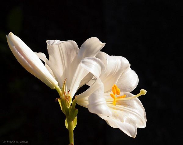 Lys blanc  P6151910