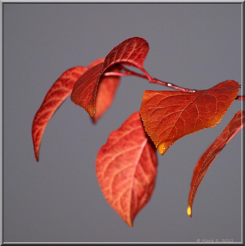 Prunus rouge  Pb163810