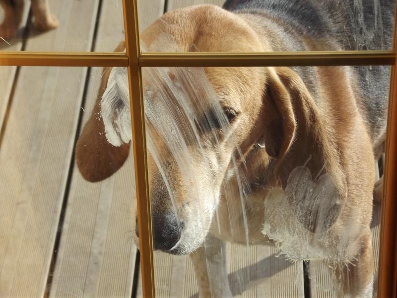 DRISANA chienne Anglo-Française de 4-5 ans 00115
