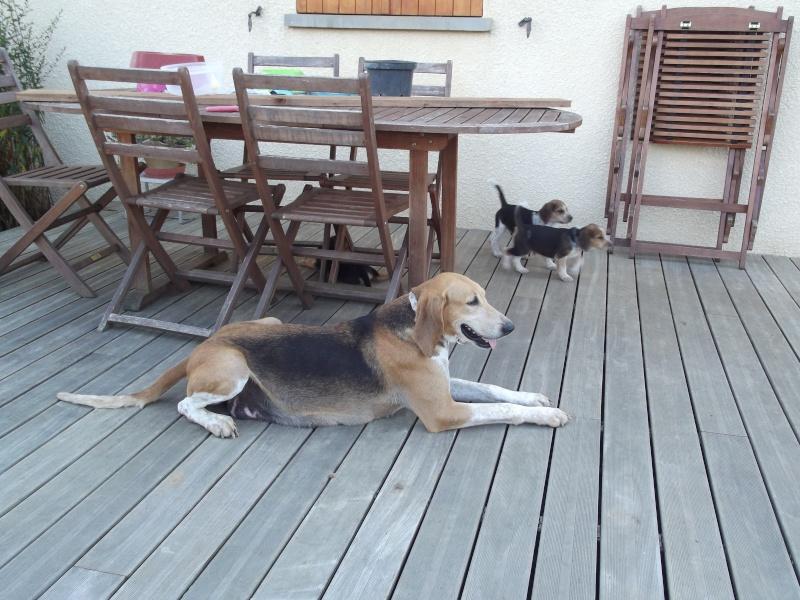 DRISANA chienne Anglo-Française de 4-5 ans 00911