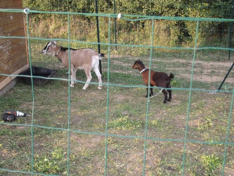 SAMBA chèvre naine 01711