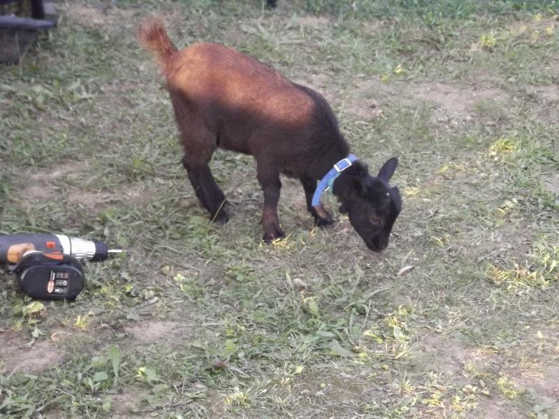 SAMBA chèvre naine 02011