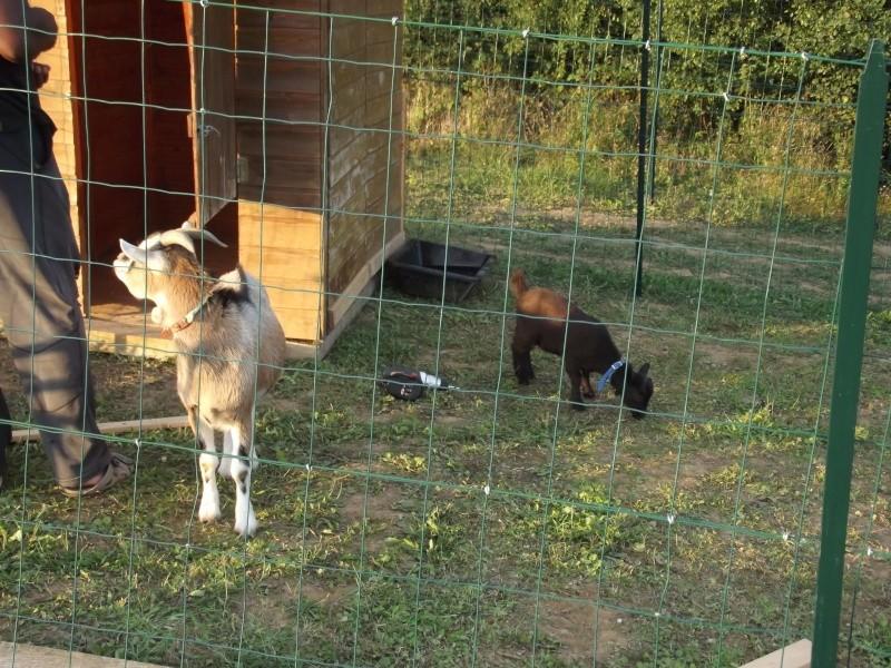 SAMBA chèvre naine 02110