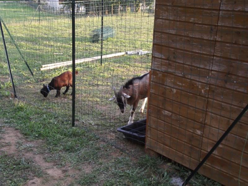 SAMBA chèvre naine 02210