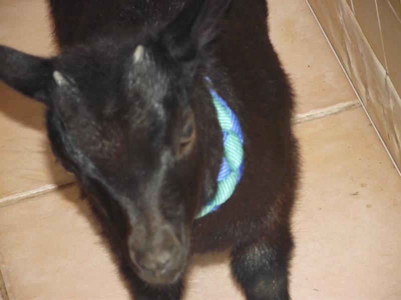 SAMBA chèvre naine Dscf0820