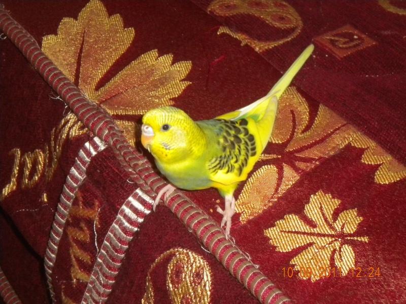 photo de ma perruche ange Dscn2210