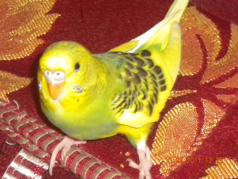 photo de ma perruche ange Dscn2211