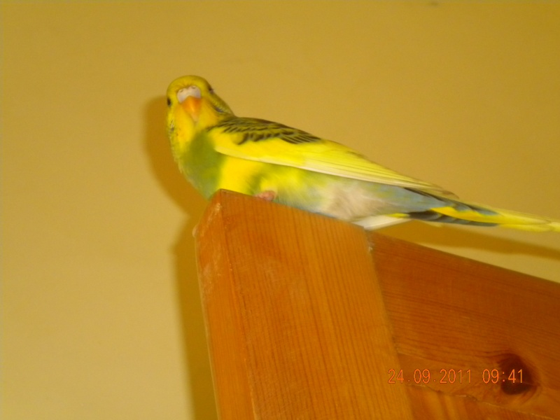 photo de ma perruche ange Dscn2216