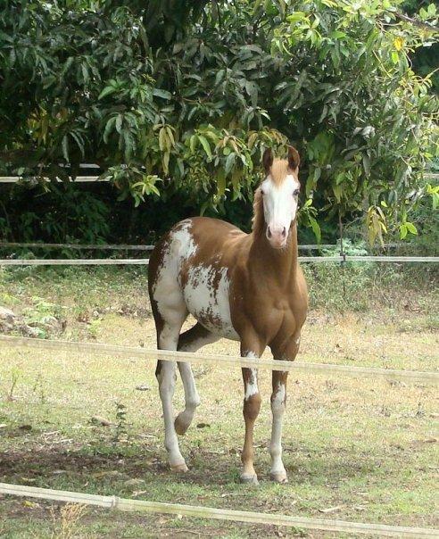Quelques Paint Horse de Nouvelle Calédonie Annie10