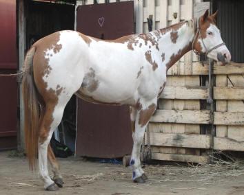 Quelques Paint Horse de Nouvelle Calédonie Demi10