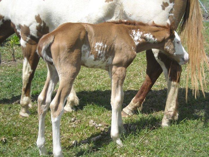 Quelques Paint Horse de Nouvelle Calédonie Loocil10