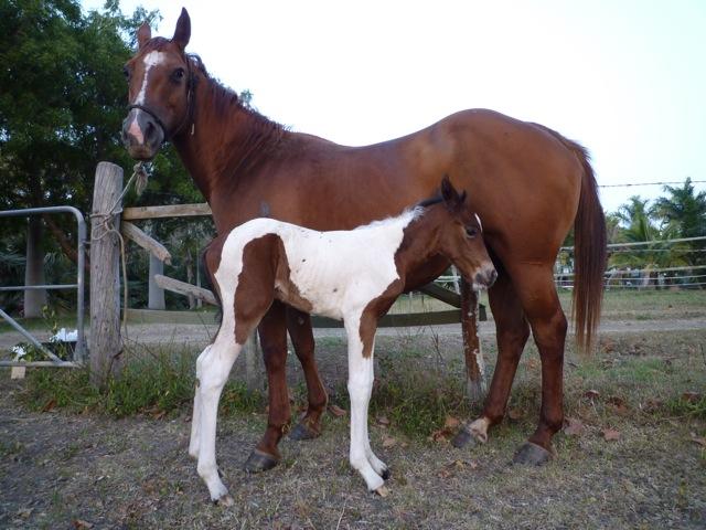 Quelques Paint Horse de Nouvelle Calédonie P1050110
