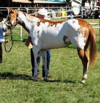 Quelques Paint Horse de Nouvelle Calédonie Struck12