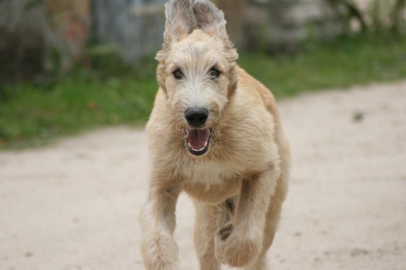 bébés irish wolfhound levrier irlandais LOF Img_4711