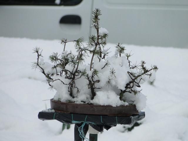 la neige sur mes arbres Dsc01311