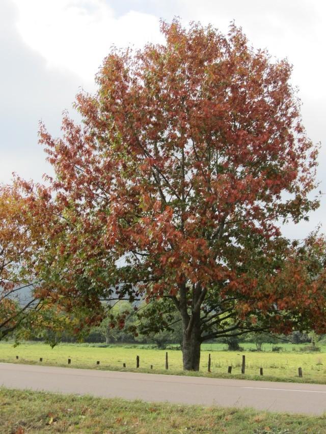chêne rouge d'amérique Img_0111