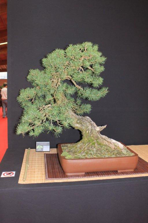 festival international de bonsai saulieu 2011 Img_0714