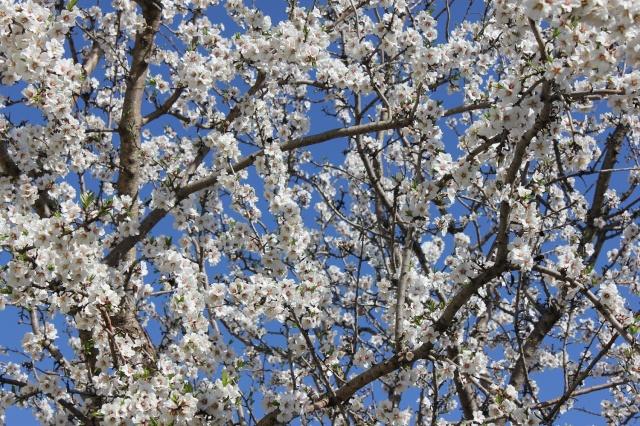 amandier en fleur  Img_1811