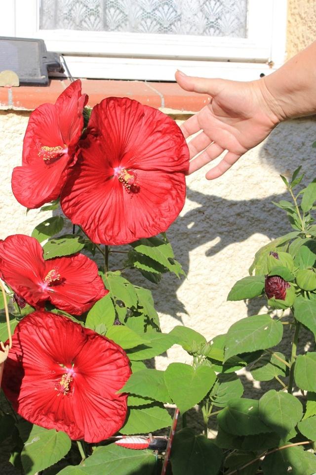 hibiscus rafraichissant Img_2216