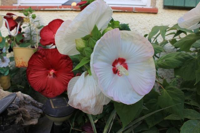 hibiscus rafraichissant Img_2217