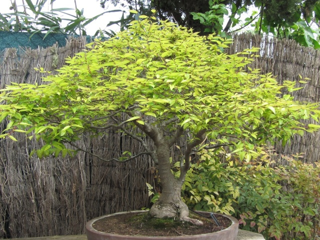musée du bonsai BIOT avril 2012 Img_4010