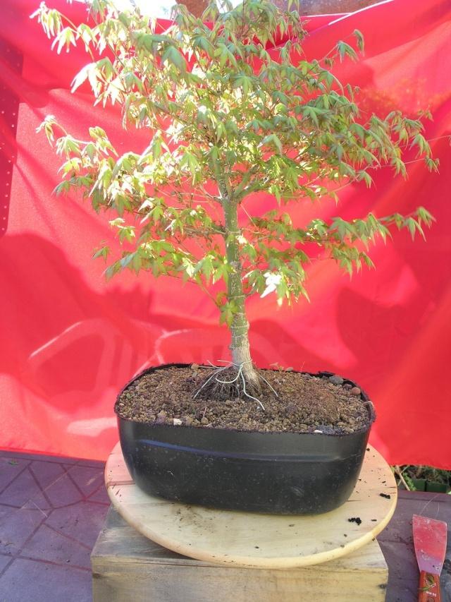 acer palmatum P4140310