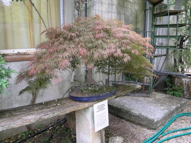 musée du bonsai BIOT avril 2012 P4280411