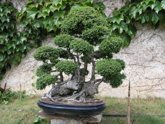 musée du bonsai BIOT avril 2012 P4280413