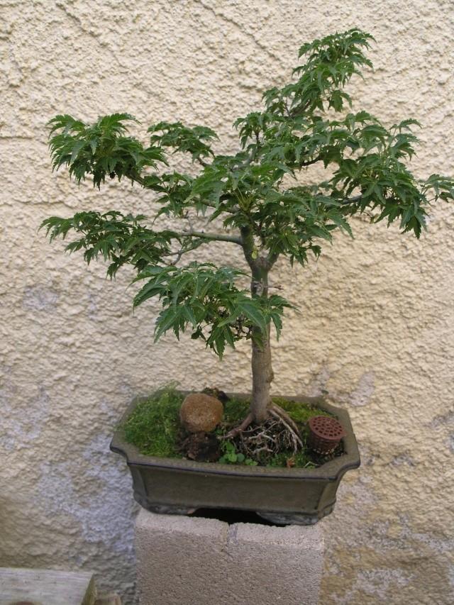graine Acer palmatum Shishigashira P8269110