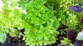 basilic à feuilles fines 10988310
