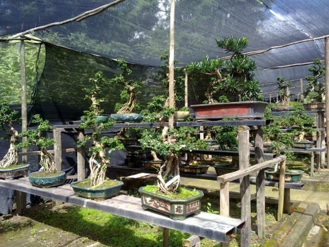 Sakura koi farm Bonzai Nursery - Page 3 027_6410