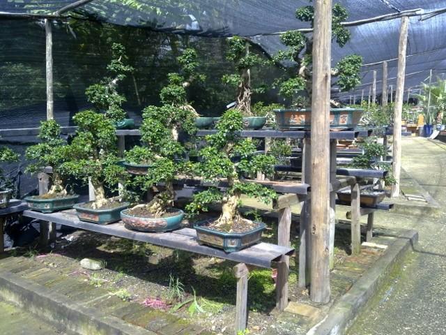 Sakura koi farm Bonzai Nursery - Page 3 028_6410