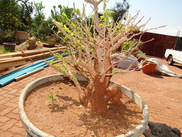 First bonsai help! Dsc00917