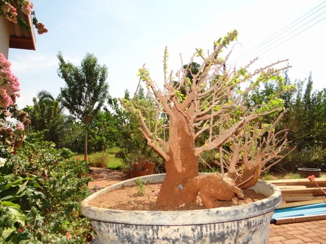 First bonsai help! Dsc00919
