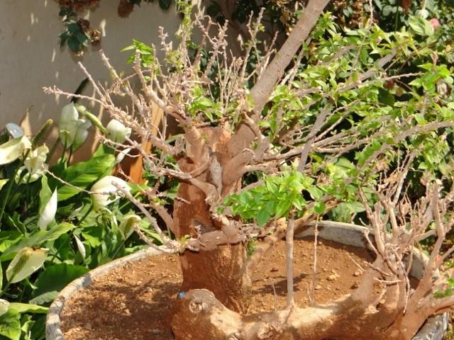 First bonsai help! Dsc00920