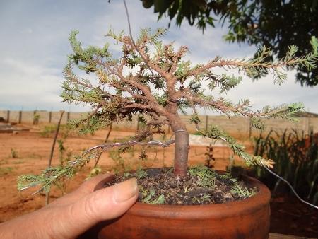 First bonsai help! Dsc01425