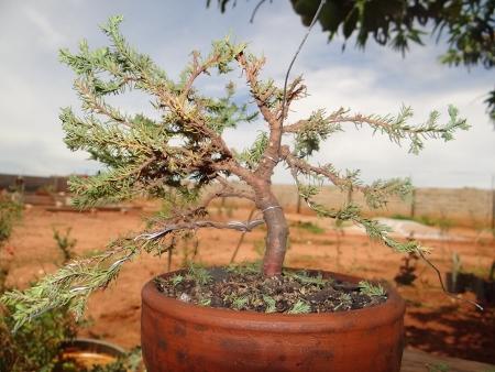 First bonsai help! Dsc01426