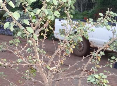 First bonsai help! Dsc01620