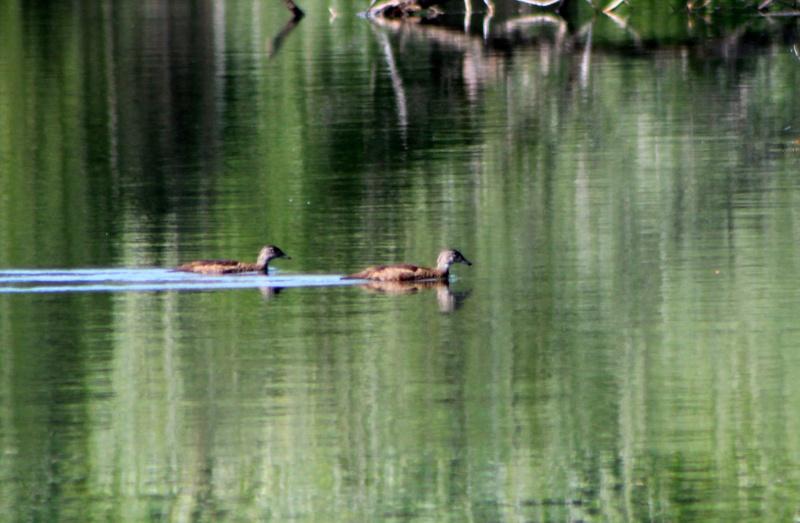 Un ou deux canards à identier Img_9611