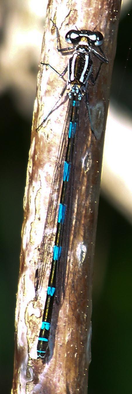 femelle de Coenagrion 10051312