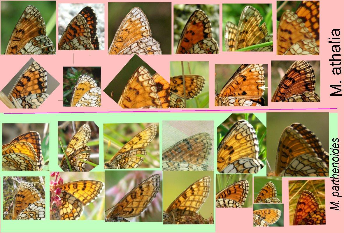 melitaea parthenoides/athalia Help ???!!! - Page 2 Mellic10