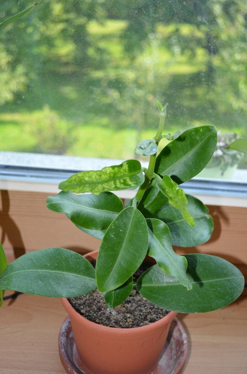 Hoya obtusifolia bekommt gelbe Flecken Dsc_1012