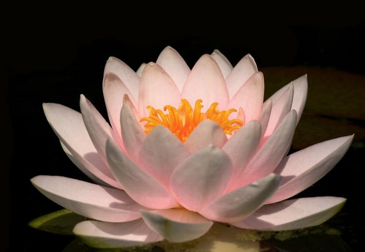 Flore du massif Nenuph10
