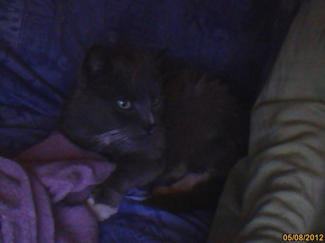 Trouvé : chat gris région Liègeoise Cleo10