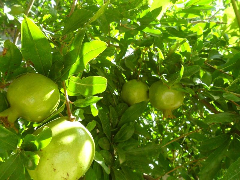 fruits de saison Sam_2125