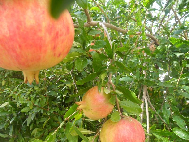 fruits de saison Sam_2310