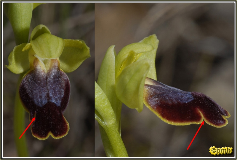 "questionnemnt sur Ophrys ""lupercalis"" Ophrys16"